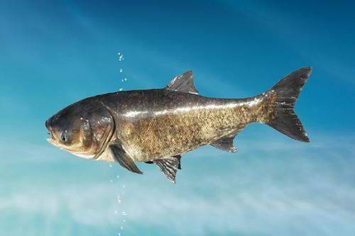 鳙鱼的食性问题